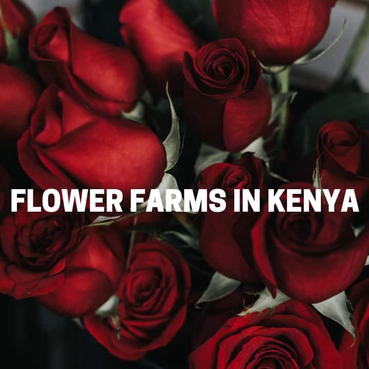 flower farms in Kenya