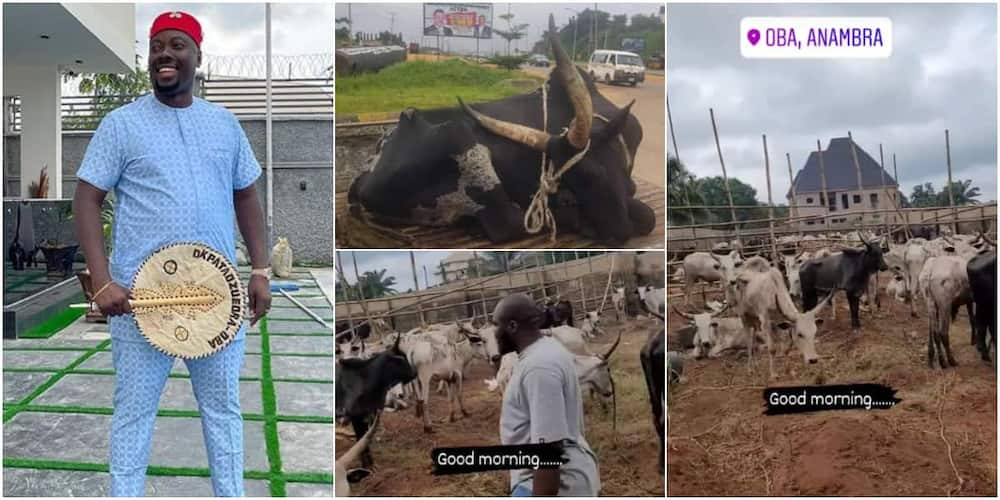 Obi Cubana receives 346 cows, 72 goats and 20 rams from friends for his mothers burial.
