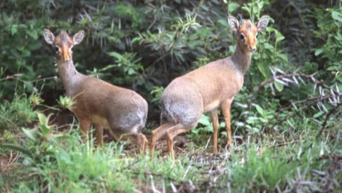 Kajiado Hunter Found with Antelope Carcass at Home Slapped with KSh 100k Bond