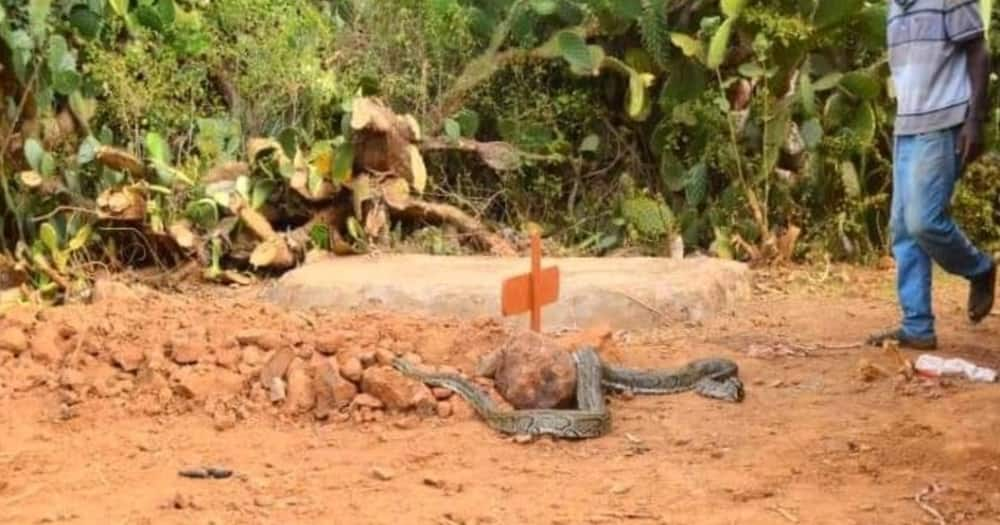 The huge python appeared just two days after William Ewoi was interred at his home. Photo: Caroline Guevara.