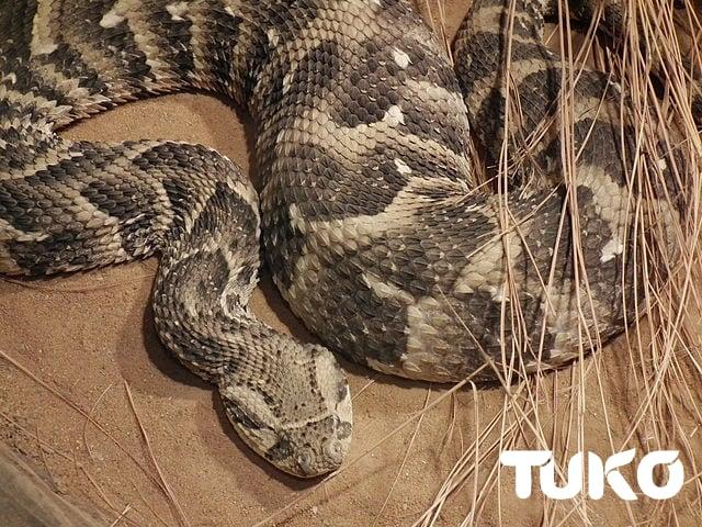 poisonous snakes in Kenya