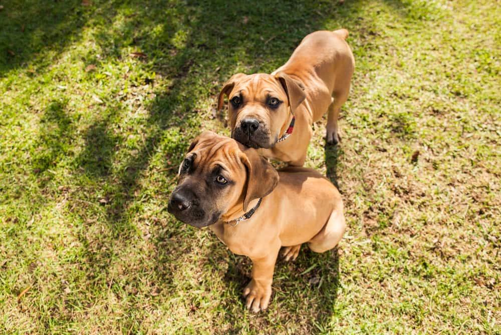Dog breeds in Kenya