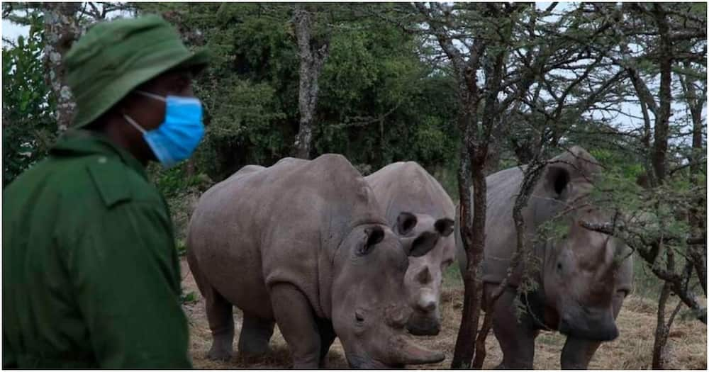 A consortium of scientists and conservationists working to save the northern white rhino from extinction.