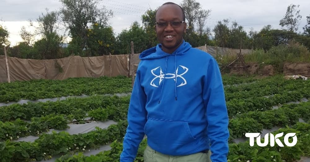 Side hustle: 33-year old Nakuru man minting KSh 800k per month from strawberry farming