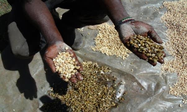 Aflatoxin in maize scandal