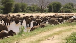 2 Elephants Take Over Isiolo Town, Cause Panic and Fear Among Residents