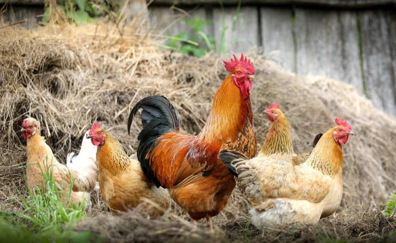Center for Disease Control warns against kissing chicken