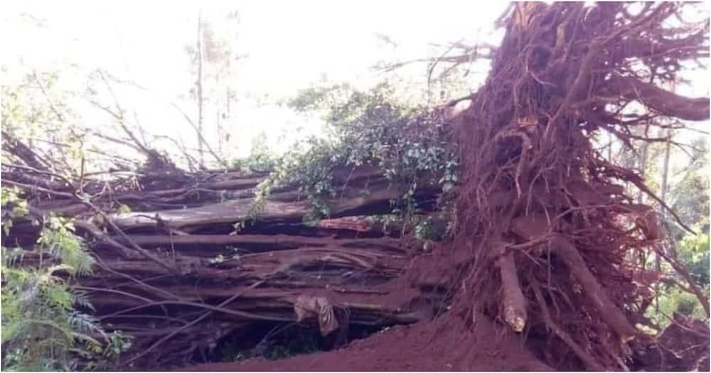 "Kikuyu elders say fallen Mugumo tree is not bad omen: ""God harvested it"""