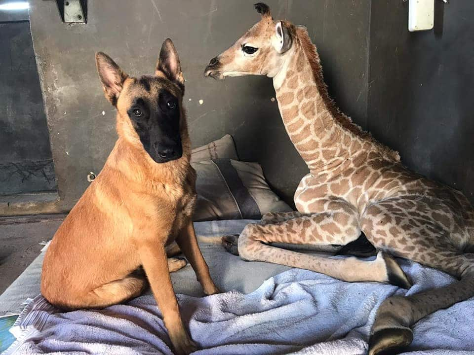 Orphan baby giraffe famed for friendship with dog is dead