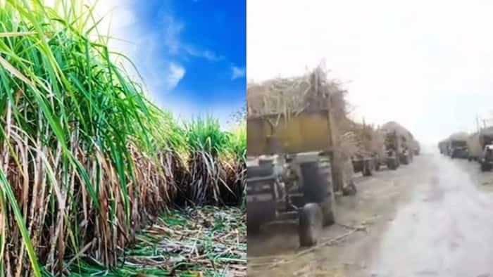 West Kenya: Video of Long Queue of Tractors Carrying Sugarcane Waiting Clearance Breaks Kenyans' Hearts