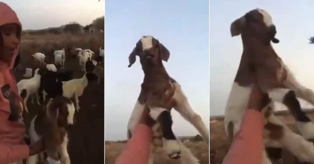 'Lmao': Hilarious Video of Boy Reenacting the Lion King With His Goat