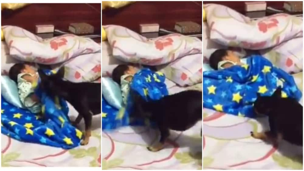 Emotional moment dogs cover baby with blanket to keep child from cold, video goes viral