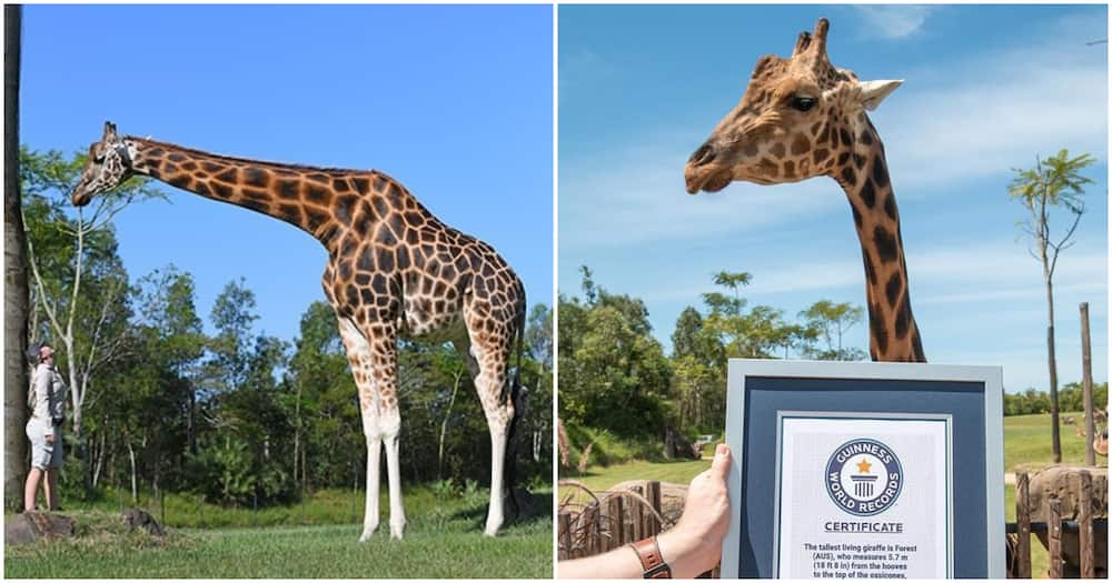 Forest crowned world's tallest giraffe