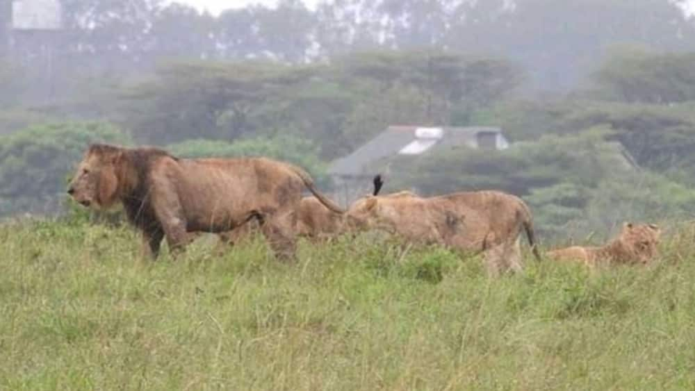 KWS on receiving end after stray lion eats man alive