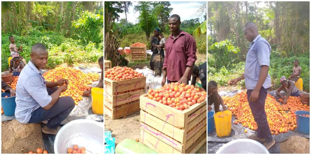 Mixed reactions as man shows off the bountiful tomatoes harvest