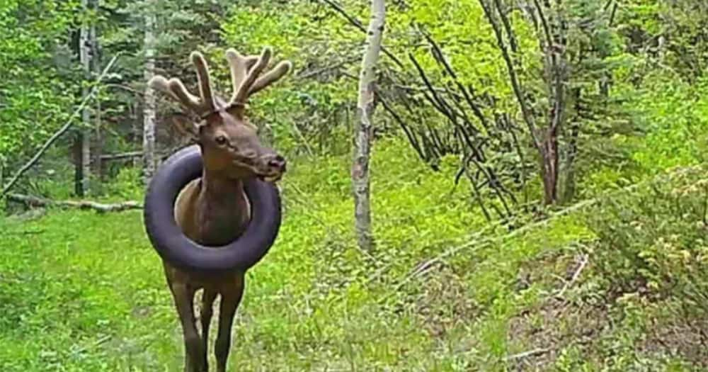 The bulk elk with a tyre stuck on his neck.