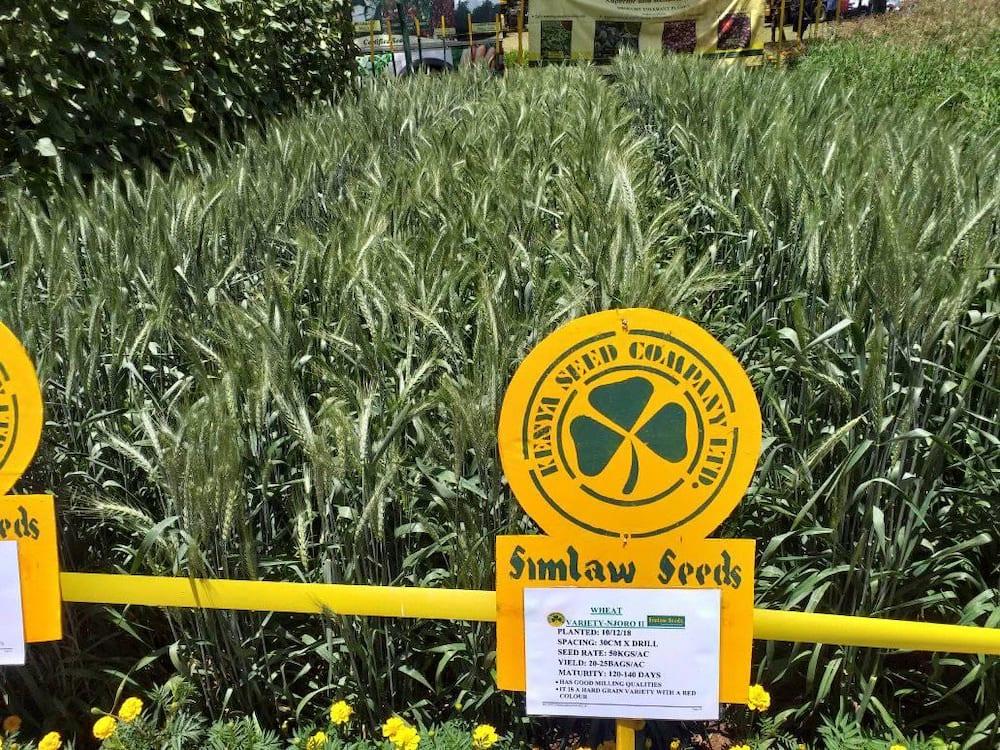 Kenya Seed Company varieties