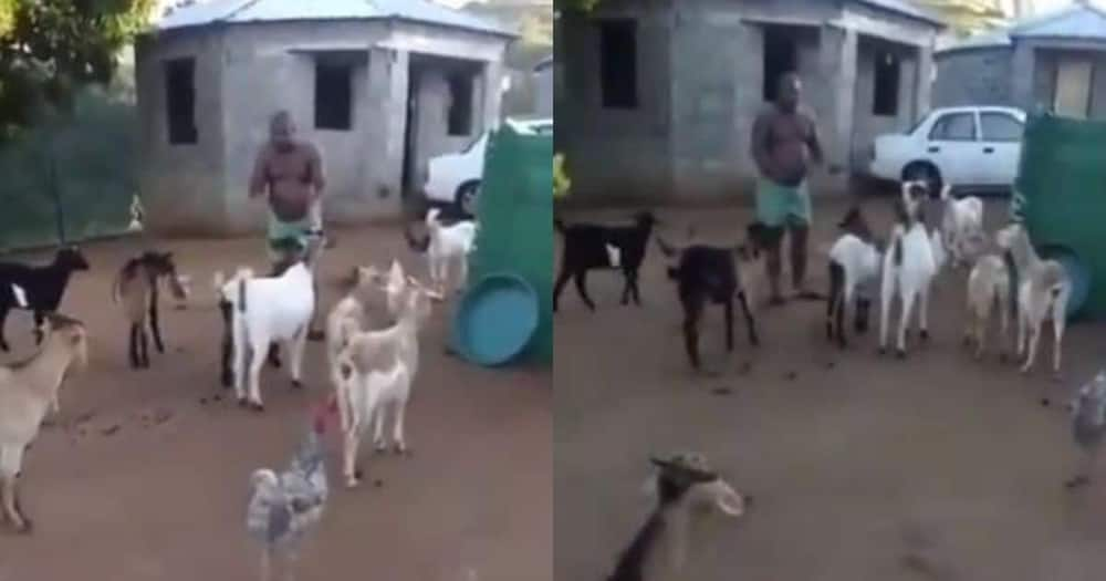 Video shows man having a meeting with animals, SA in stitches