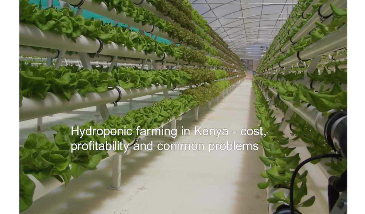 Hydroponic Farming in Kenya - COST & Problems ▷ Tuko co ke