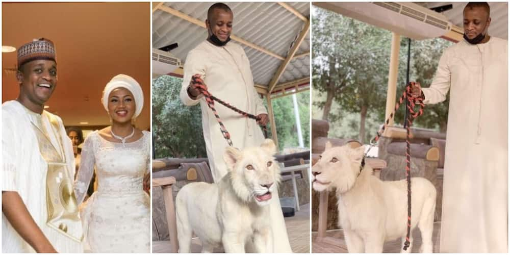 President Buhari's son-in-law Ahmed Indimi shows off new pet lion