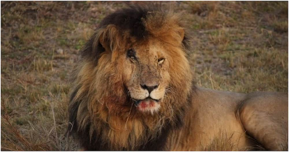 Scarface was a famed lion that lived in Maasai Mara until his death at 1pm on Friday, June 11.