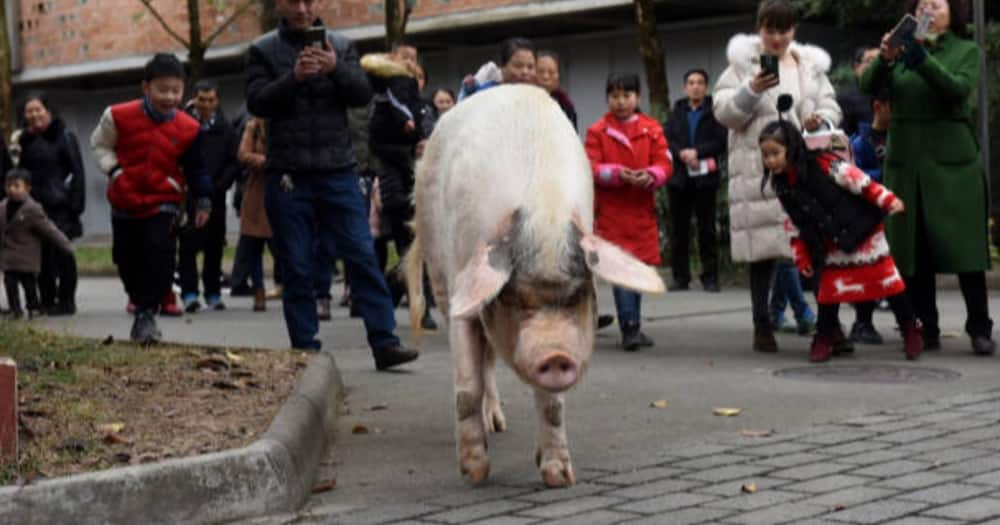 China Mourns Death of Pig That Survived 36 Days Under Rubble in 2008 Earthquake