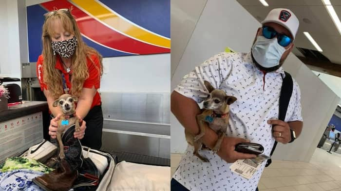 """Couple Find Their Pet Chihuahua as Stowaway in Luggage: """"We Were Embarrassed"""""""