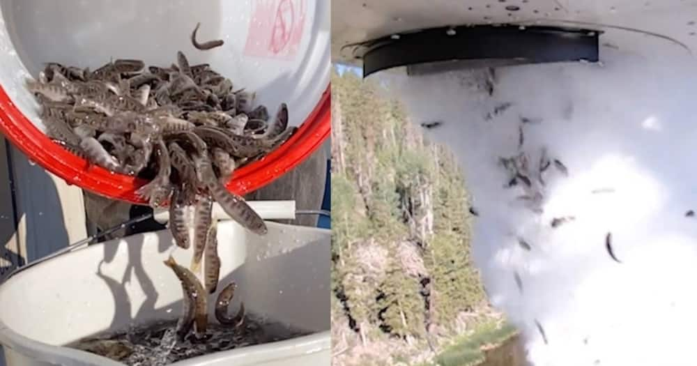 Thousands of fish were dropped into the lakes of Utah State in the US. Photo: Utah State.