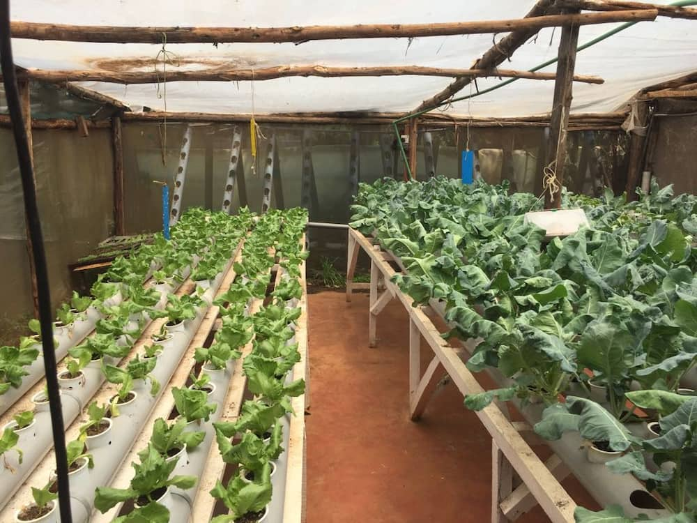 how to grow hydroponic fodder at home