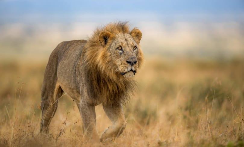 Sam: One of Nairobi National Park's oldest lions dies