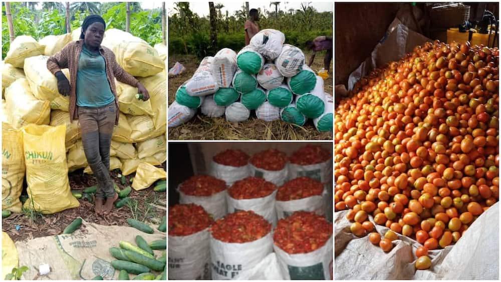Photos of her bumper harvest wowed people. Photo source: Petra Akanti Onyegbule.