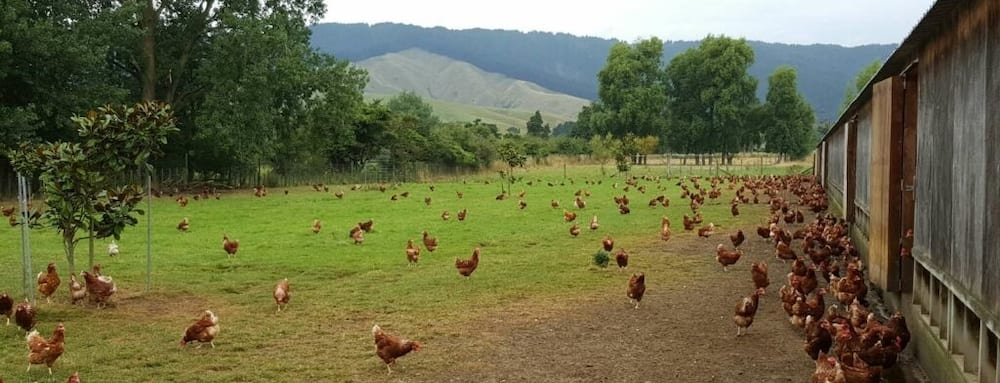 Man accidentally buys 1000 chickens online for KSh 155