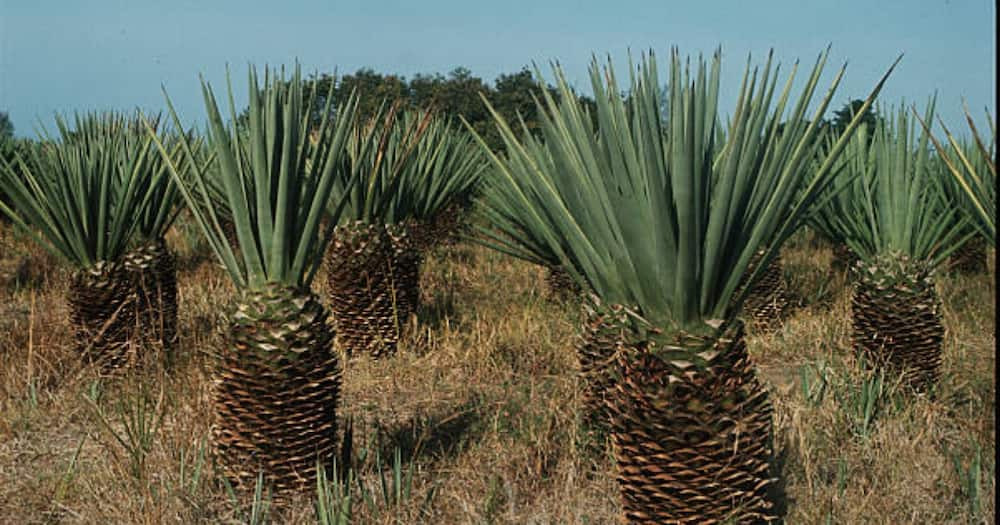 Likongwe: The Mighty Sisal Plant Used by Luhya Men to Declare Love