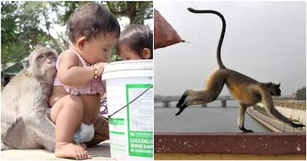 12-day-old baby dies after being snatched from mother's lap by monkey in India