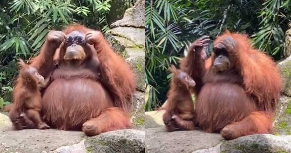 Orangutan wearing sunglasses at the zoo.