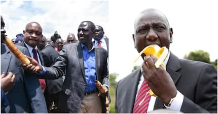 William Ruto tells farmers to ditch sugarcane and maize and take up avocado, other cash crops