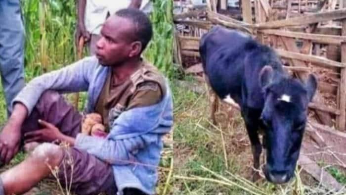 Nyeri Man Returns Stolen Cow While Shouting 'Moo, Moo, Moo'