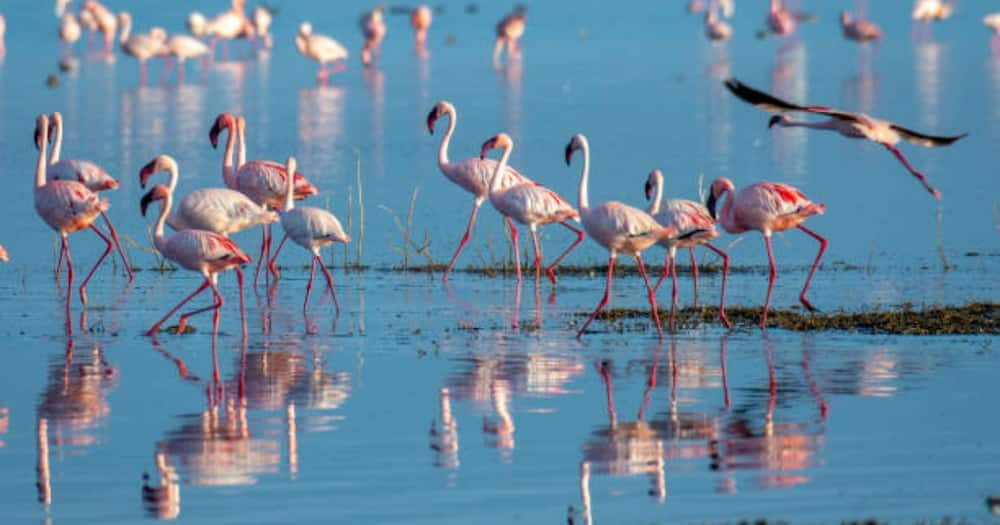 Hundreds of Flamingos Die in Nakuru After Flocking to The Sewerage Treatment Plant