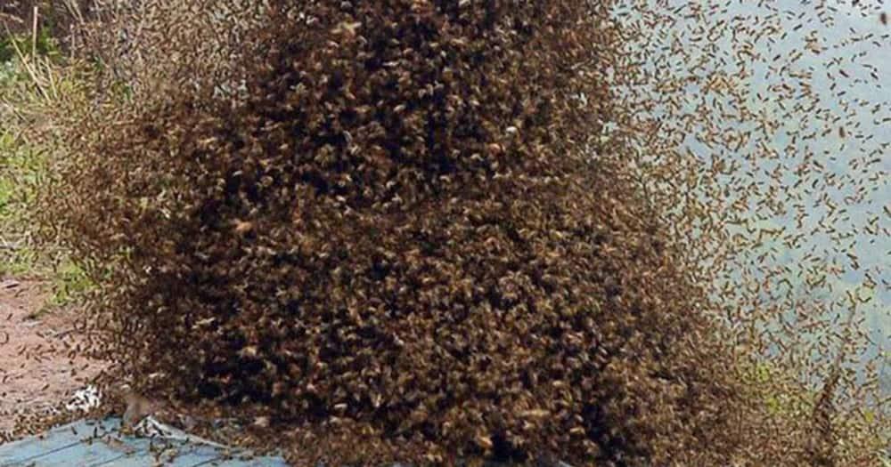 A swarm of bees. Photo: Daktari Nyuki.