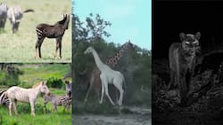 5 Wild animals in Kenya's wild with unique features that amazed the world