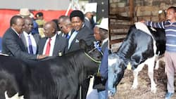 Trans Nzoia Farmer Who Sold Bull to Uhuru at KSh 1 Million Quits Dairy Farming Due to Low Returns