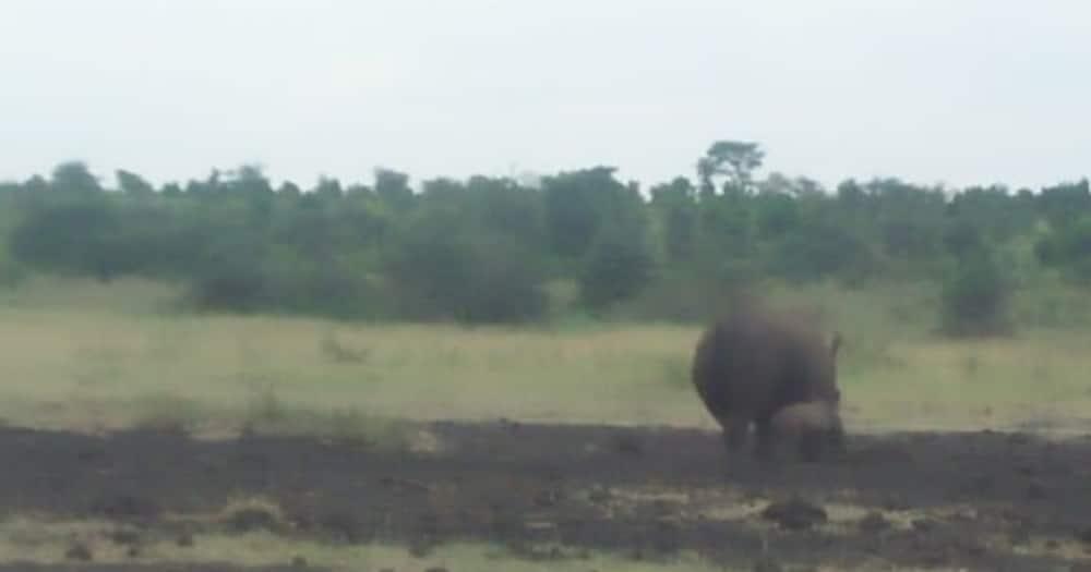 White rhino gives birth to bouncing male calf at Meru national park