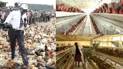 Chief Hustler: 5 Photos of William Ruto's Multi-Million Poultry Project in Sugoi
