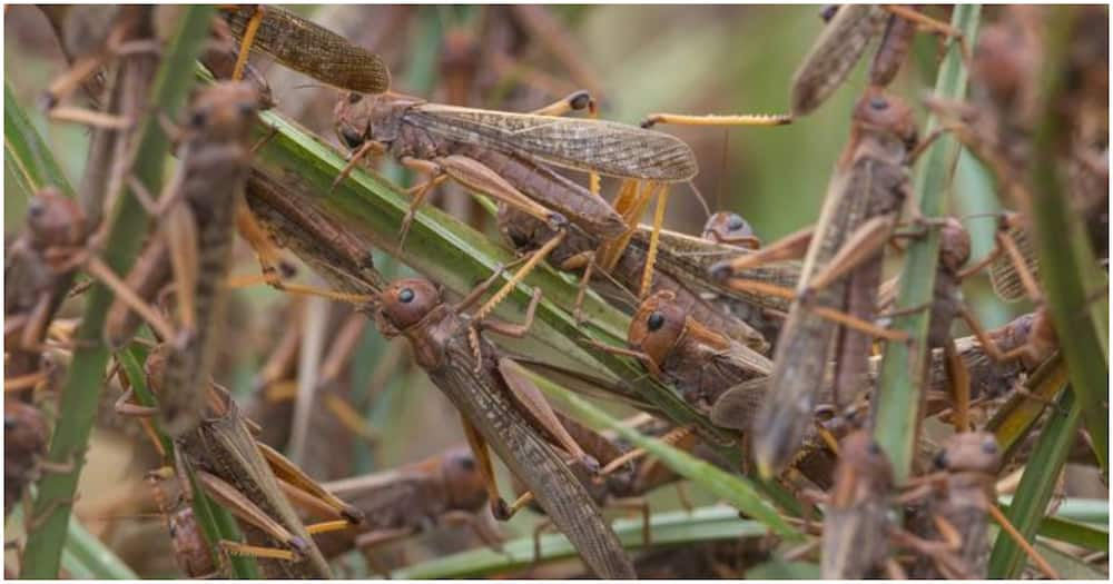 The harvesting begins as early as 5.30 am when the locusts are asleep and cannot move. Photo: DW
