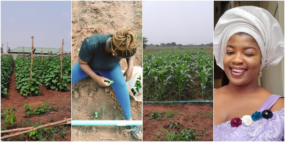 Nigerian lady shows off sweet corn farm, surprises people that didn't believe in her