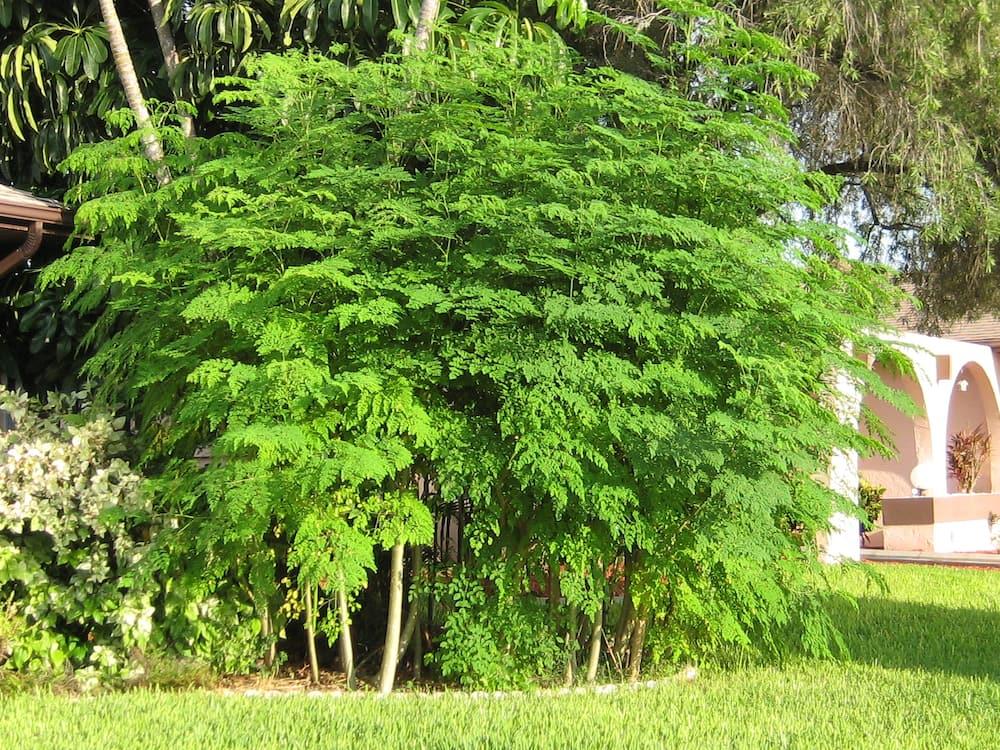 fastest-growing trees in Kenya