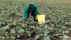Kisumu Form Four leaver making over KSh 2 million a year from okra farming