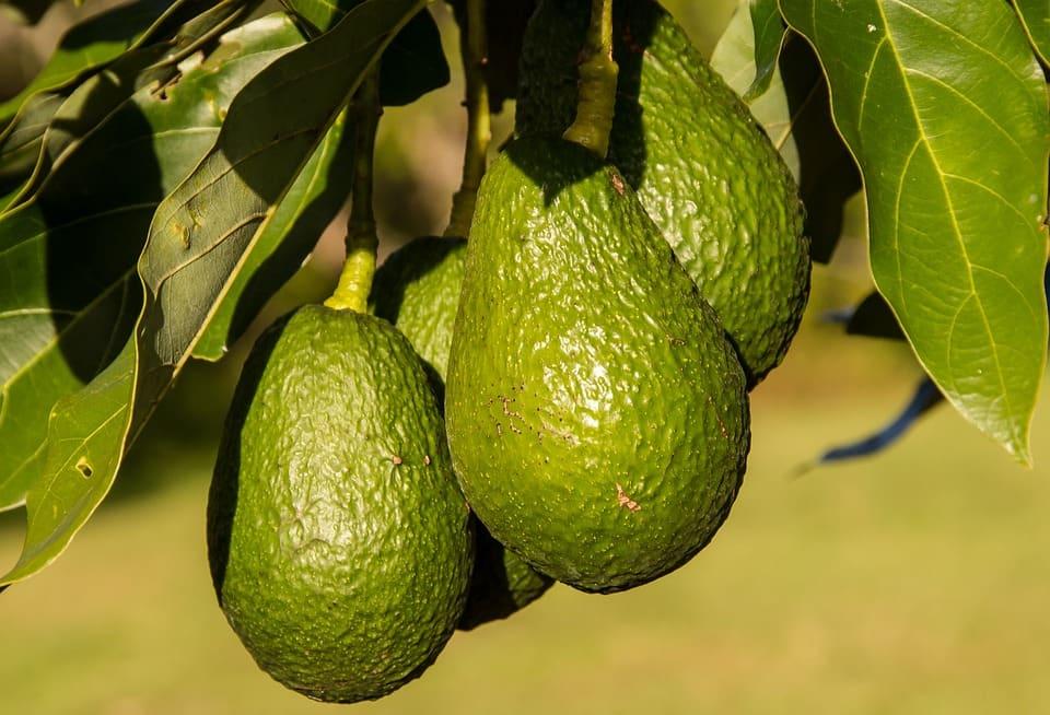 How profitable is hass avocado farming in Kenya? ▷ Tuko co ke