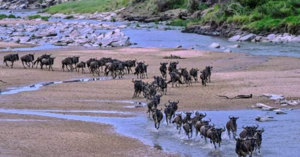 The wildebeest migration in Maasi Mara.
