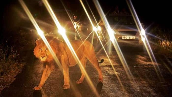 Rongai: KWS Officers Capture Stray Lion, Release it Back to Nairobi National Park